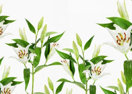 Fototapeta jasne lilie na białym tle